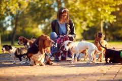 Grupo de cães com o caminhante do cão da mulher que aprecia na caminhada fora imagens de stock