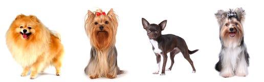 Grupo de cães de regaço foto de stock