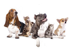 Grupo de cães e de kitens Fotografia de Stock