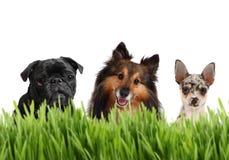 Grupo de cães pequenos Fotografia de Stock