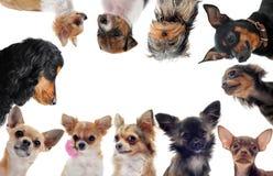 Grupo de cães pequenos Fotografia de Stock Royalty Free