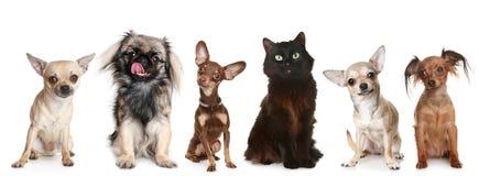 Grupo de cães pequenos e de um gato imagem de stock
