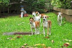 Grupo de cães tailandeses Fotografia de Stock