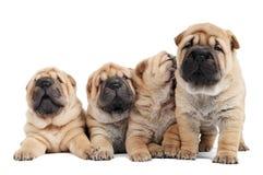 Grupo de cão de filhote de cachorro do sharpei Imagem de Stock Royalty Free