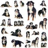 Grupo de cão de montanha bernese fotografia de stock