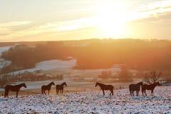 Grupo de caballos en un campo nevoso, paisaje de la puesta del sol Fotografía de archivo