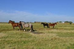 Grupo de caballos en un pasto Fotografía de archivo libre de regalías