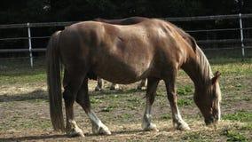 Grupo de caballos que comen el heno en un campo árido en día de verano soleado Caballos que comen el heno en la granja, resplando metrajes