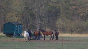 Grupo de caballos que comen el prado de Hay In A almacen de metraje de vídeo