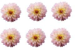 Grupo de cabeças de flor da dália isoladas imagens de stock royalty free
