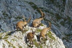 Grupo de cabra montés salvaje en las montan@as julianas en Eslovenia fotografía de archivo