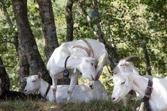 Grupo de cabras blancas en un prado fotografía de archivo libre de regalías