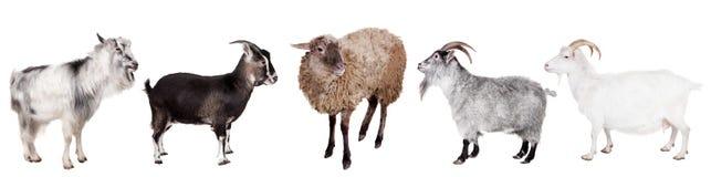 Grupo de cabras en el blanco fotos de archivo libres de regalías