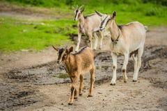 Grupo de cabras no trajeto enlameado imagens de stock royalty free