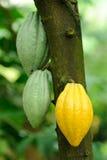 Grupo de cacao Foto de archivo libre de regalías