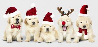 Grupo de cachorrinhos adoráveis do golden retriever que vestem trajes do Natal foto de stock