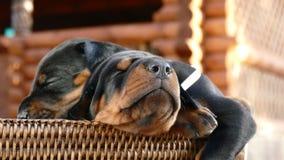 Grupo de cachorrinhos do doberman na cesta Imagens de Stock