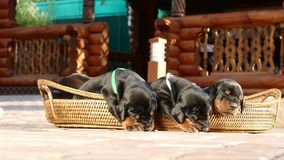 Grupo de cachorrinhos do doberman na cesta Fotos de Stock Royalty Free