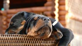 Grupo de cachorrinhos do doberman na cesta Foto de Stock Royalty Free