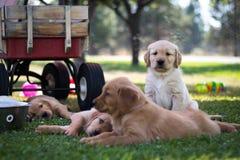 Grupo de cachorrinhos do golden retriever fotografia de stock