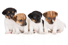 Grupo de cachorrinhos do terrier de russell do jaque Fotos de Stock