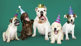 Grupo de cachorrinhos que comemoram um ano novo foto de stock
