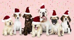 Grupo de cachorrinhos que vestem chapéus do Natal fotografia de stock