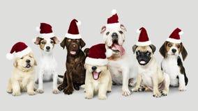 Grupo de cachorrinhos que vestem chapéus do Natal para comemorar o Natal imagem de stock