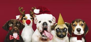 Grupo de cachorrinhos que vestem trajes do Natal foto de stock