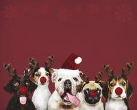 Grupo de cachorrinhos que vestem trajes do Natal fotografia de stock