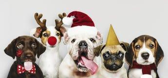 Grupo de cachorrinhos que vestem trajes do Natal para comemorar o Natal imagens de stock