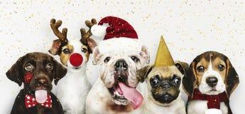 Grupo de cachorrinhos que vestem trajes do Natal para comemorar o Natal fotografia de stock royalty free