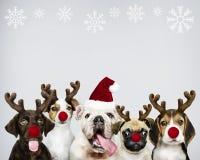 Grupo de cachorrinhos que vestem trajes do Natal para comemorar o Natal imagens de stock royalty free