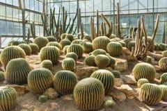 Grupo de cactus de barril de oro Fotografía de archivo