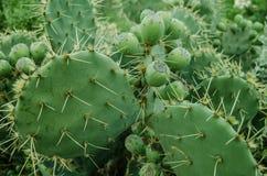 Grupo de cactus verde natural con muchas espinas alrededor fotos de archivo