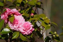 Grupo de camelias rosadas Imagen de archivo
