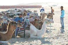 Grupo de camellos Fotografía de archivo libre de regalías