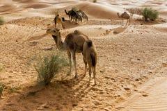 Grupo de camellos en el desierto del Sáhara en Túnez imagen de archivo libre de regalías