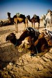 Grupo de camelos Imagem de Stock Royalty Free