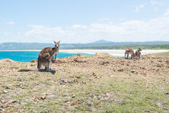 Grupo de canguro en Coffs Harbour, NSW, Australia Imagen de archivo libre de regalías