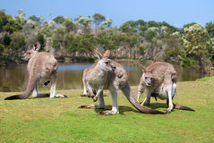Grupo de canguros Fotografía de archivo libre de regalías