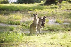 Grupo de canguros jovenes Foto de archivo