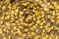 Grupo de capullos del gusano de seda Imagen de archivo