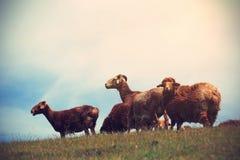Grupo de carneiros Foto de Stock