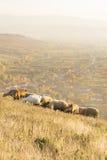 Grupo de carneiros e de cabras que pastam a grama acima da vila Fotografia de Stock