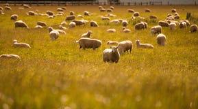 Grupo de carneiros na exploração agrícola, ilha sul, Nova Zelândia imagens de stock