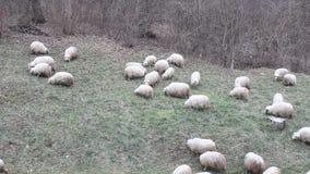 Grupo de carneiros a pastar video estoque