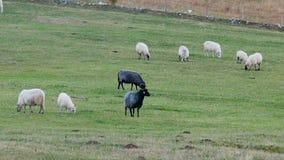 Grupo de carneiros preto e branco que estão em um campo verde vídeos de arquivo