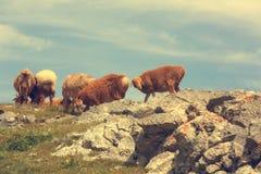 grupo de carneiros que andam na montanha Imagem de Stock