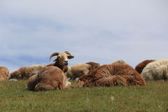grupo de carneiros que andam na montanha Foto de Stock Royalty Free